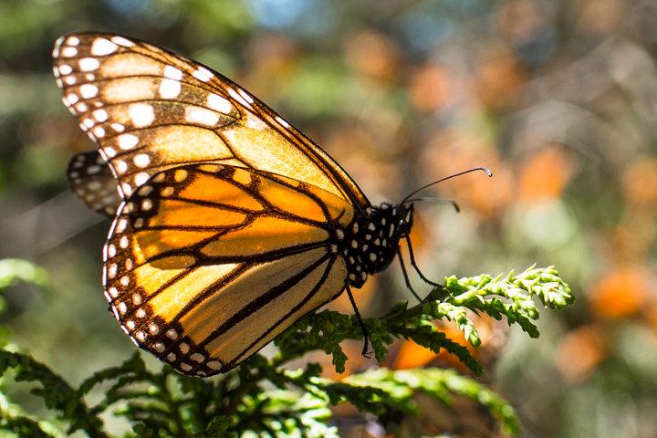 Mariposa Monarca. Foto Org.mx