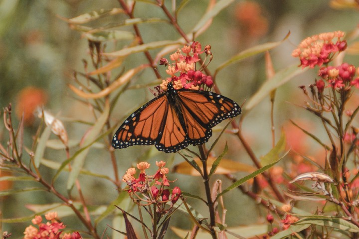 La mariposa Monarca. Foto: britt gaiser