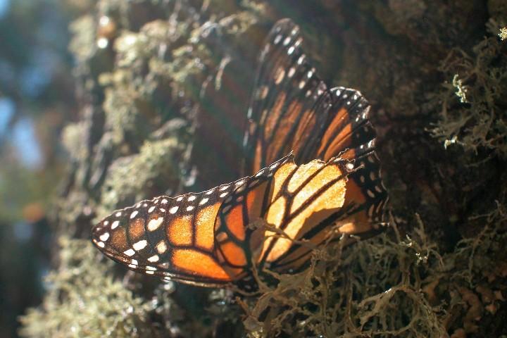 Mariposa Monarca en Michoacán. Foto: Ulf Jenninger
