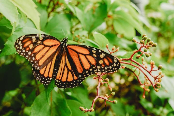 Mariposa Monarca. Foto: Roberto Carlos Roman